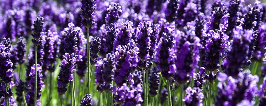 Numerology at the Lavender Festival